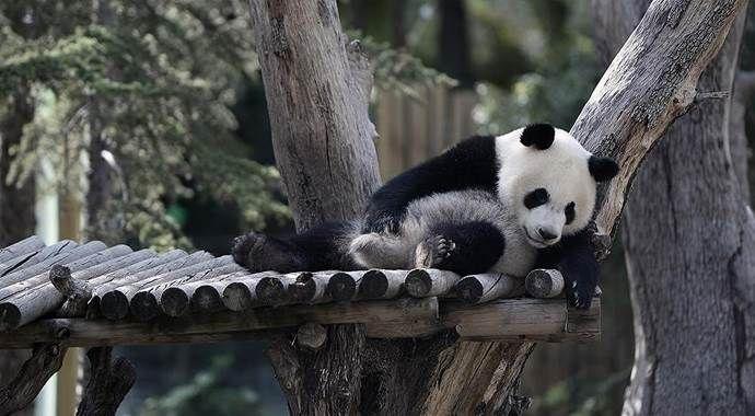 Çinli bilim adamları pandaların dilini çözdü