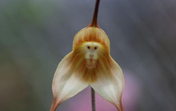Maymun mu çiçek mi?