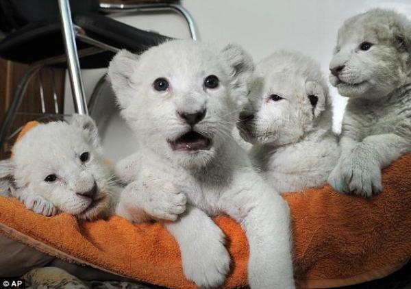 Anne aslan normal, yavruları beyaz