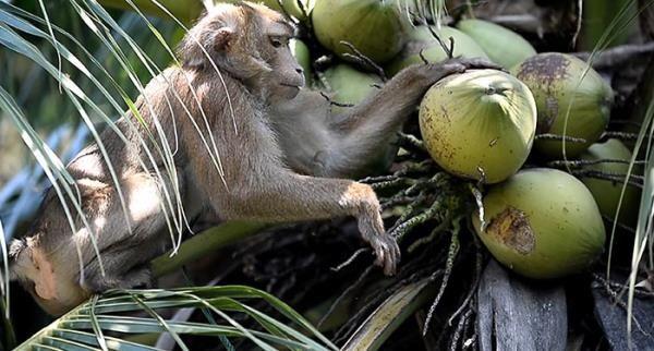 Maymunlara bunu da yaptırıyorlar