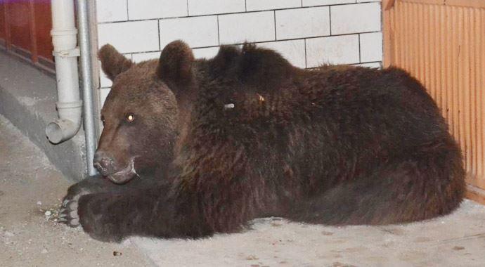 İşte ayıların şehre inmesinin sebebi