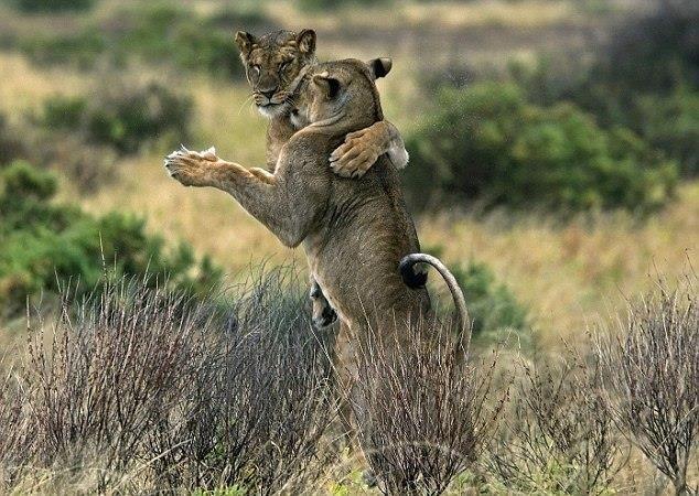 Aslanların dansı