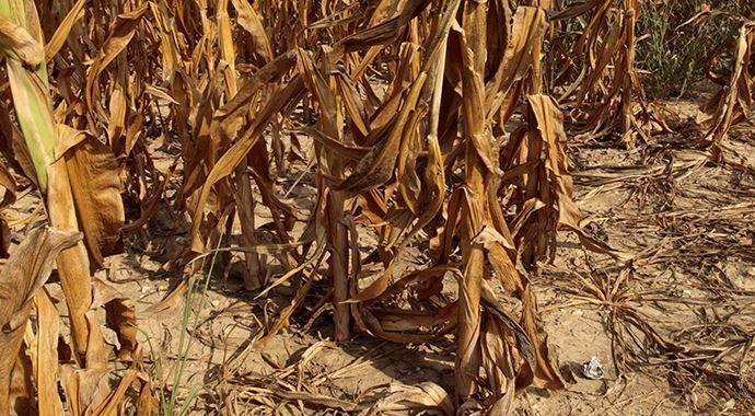 Kuraklık tarımı vurdu, zarar yüzde 20'yi aştı
