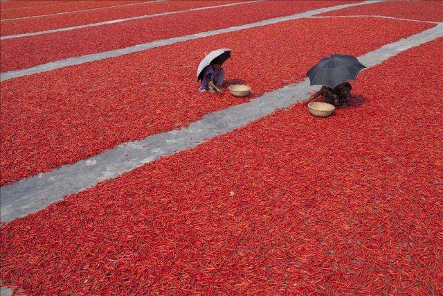 Bangladeş'te kırmızı biber üretimi