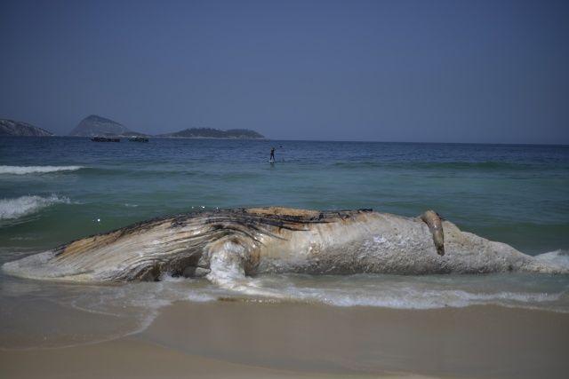 Brezilya'da kambur balina ölüsü karaya vurdu