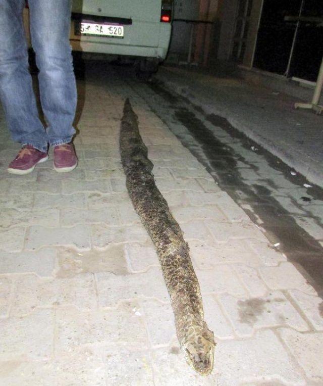 Şarköy'de 3 metre 20 santimlik yılan ölüsü bulundu