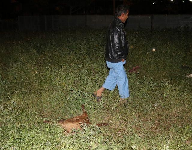 Sürüye saldıran sokak köpekleri, 4 oğlağı telef etti