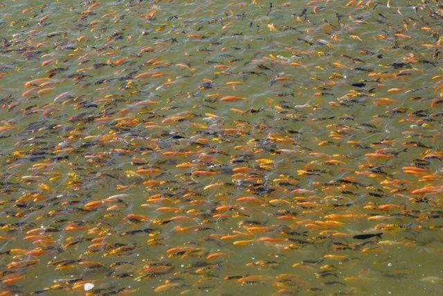 Antalya'da serada domates gibi balık yetiştiriliyor