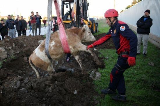 Köpeğin havladığı kuyudan inek çıktı