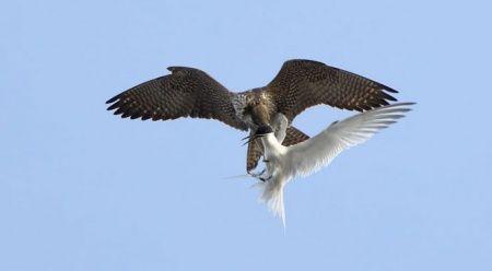 Türk profesör dünyanın en hızlı kuşunu avlanırken görüntüledi