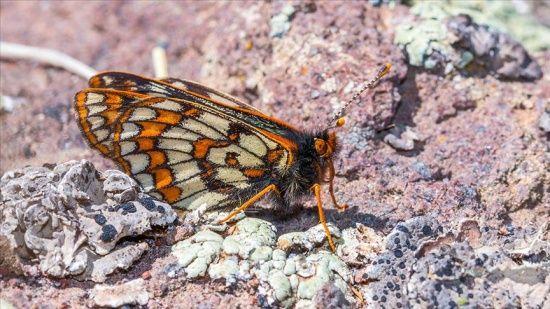 Bu kelebek 12 bin yaşında! Ağrı Dağı'nda yeniden görüntülendi