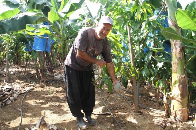 Üretimi kolay, kar oranı yüksek! Tropikal meyveler 'yerli' oldu