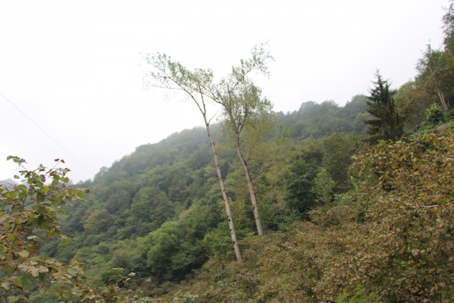 Metrelerce uzunluktaki ağaçlara Tarzan gibi tırmanıyor
