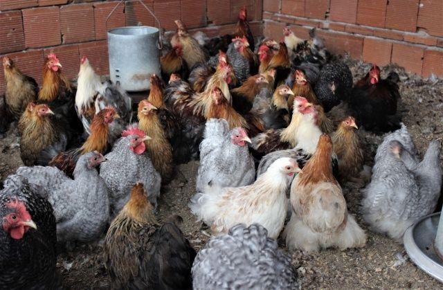 Dünyanın her ülkesinden nadir tavukları getirdi, şimdi bütün dünyaya satıyor