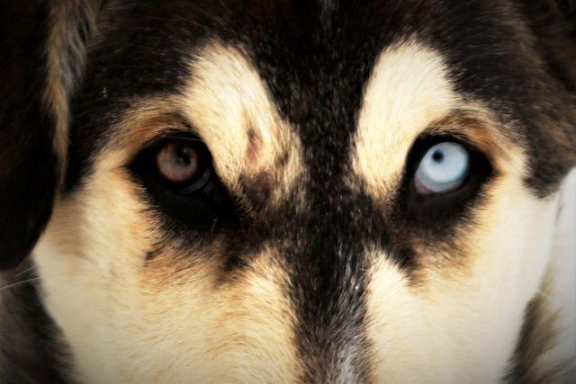 Bu da Van köpeği! Gören dönüp bir daha bakıyor, milyonda bir görülüyor