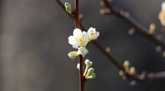 Görenler şaştı kaldı! Kış ortasında çiçek açtı