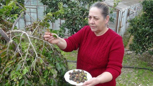Türkiye'de bir ilk! 3 yıl önce dikilmişti, ilk meyvelerini verdi