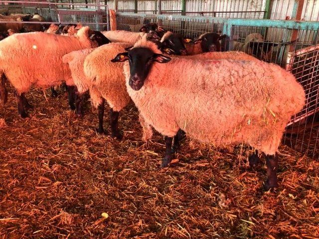 Bu koyunlardan almak için 6 ay sıra beklemeniz gerekiyor