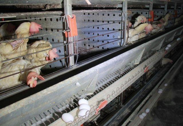 Korona yumurta üreticisini de vurdu, tavuklar telef oluyor