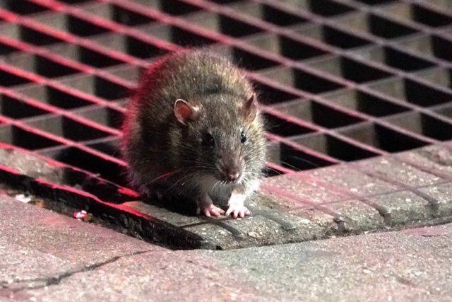 ABD'yi coronadan sonra fareler de tehdit ediyor