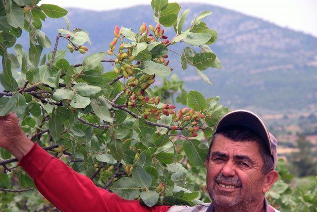 Burası Antep değil Muğla! 30 yıl sonra meyve verdi