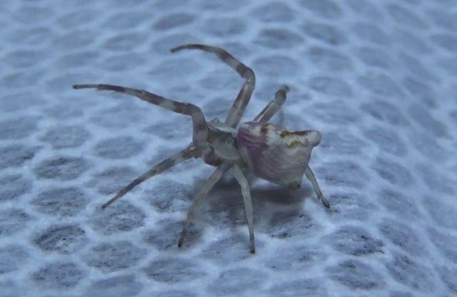 'İnsan yüzlü örümcekler'i görenler gözlerine inanamıyor!