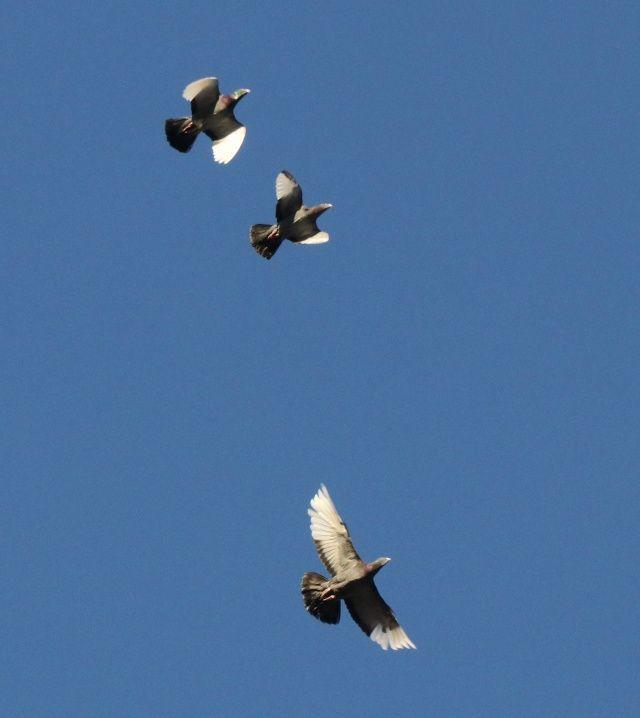 Dünyanın en hızlı güvercinlerini hobi olarak yetiştiriyor