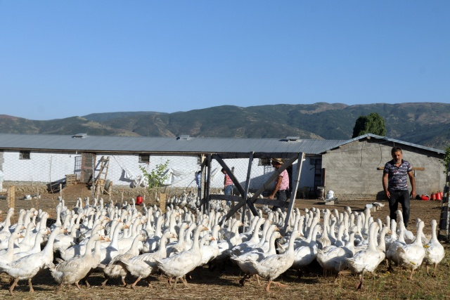 Öğretmenliği bırakıp kaz yetiştirmeye başlayan genç çiftçi, şimdi herkese bu işi tavsiye ediyor