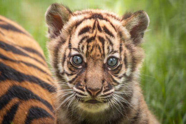 Polonya'da nesli tükenmekte olan Sumatra kaplanı dünyaya geldi