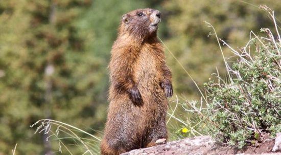 Moğolistan'da marmot eti yiyen 2 kişide bubonik veba tespit edildi