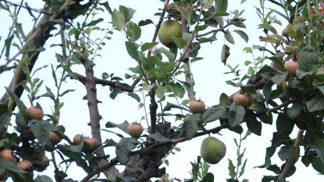 Tek ağaçta 3 farklı meyve yetiştirdi