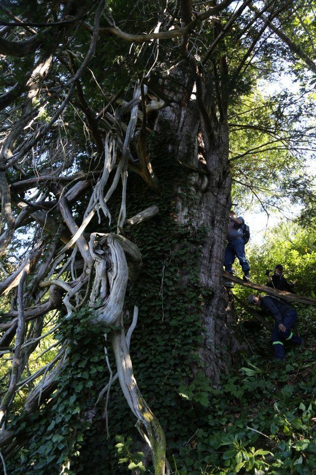 Türkiye'nin en geniş çaplı porsuk ağacı