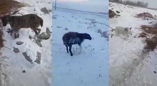 Kazakistan'da dondurucu soğuk: Hayvanlar telef oldu