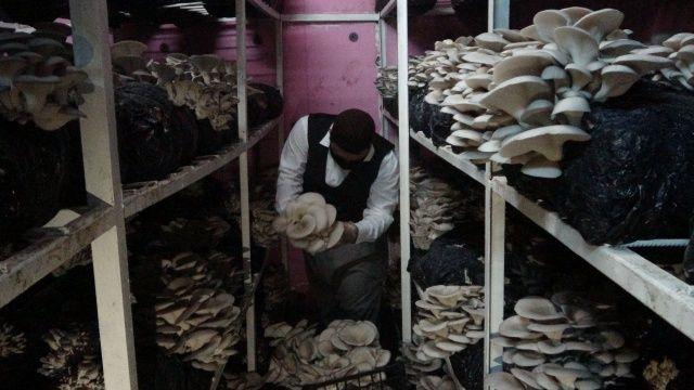 İş yerini kapattı evinin bodrumunda mantar üretmeye başladı