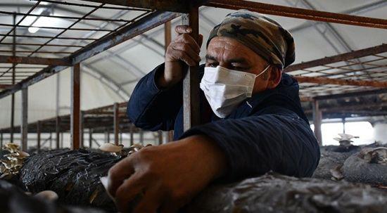 Köyünde istiridye mantarı tesisi kurdu, 30 yıllık gurbet hayatına son verdi