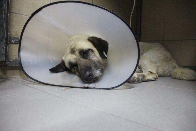 Veterinere götürülen köpeğin vücudunda onlarca saçma çıktı