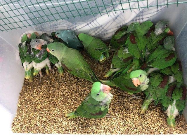 İstanbul'da 38 İskender papağanı kurtarıldı