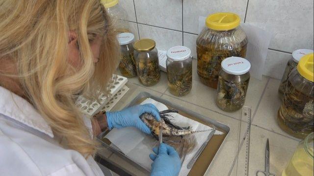 İstilacı, zehirli aslan balığı Akdeniz'i tehdit ediyor