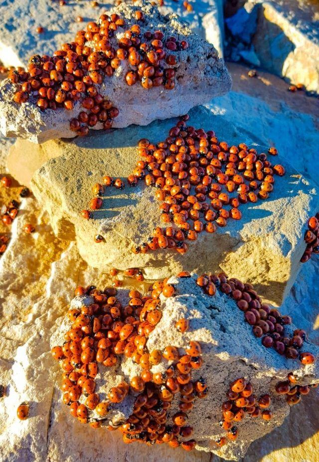Kahramanmaraş'ta uğur böcekleri görsel şölen sunuyor