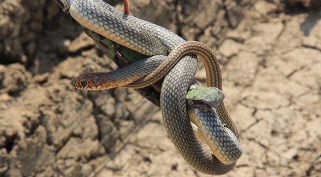 Züccaciyede yılan paniği! Deprem oluyor zannetti