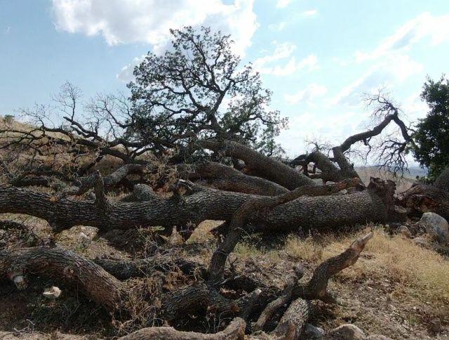 3 asırlık ağaca kimse dokunamıyor, sebebi ise çok farklı
