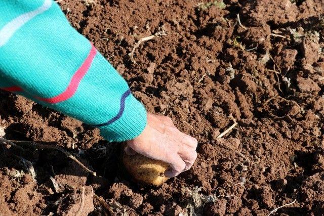 Onlarca kişi tarlaya akın etti, toprağın altından elleri ile tek tek çıkartıyorlar