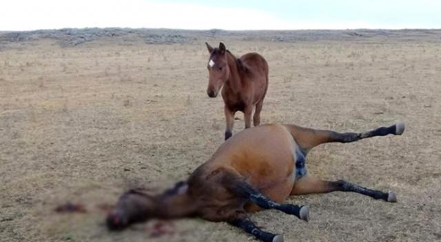 At Hırsızları Kendileri Ile Gelmek Istemeyen Atı Yavrusunun önünde