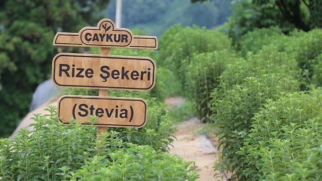 Stevia Nedir, Faydaları Nelerdir? | Şeker Otu Stevia Bitkisi Zararlı mı?