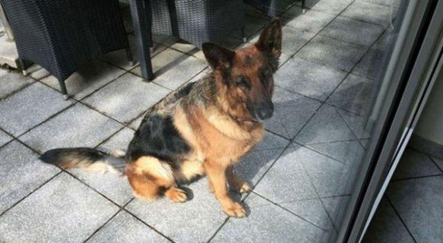 Almanya'da kaybolan köpek İsviçre'de bulundu