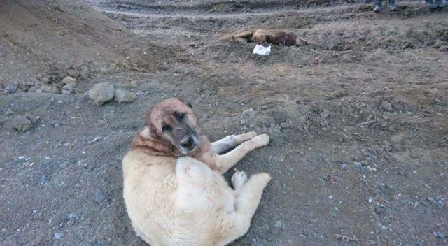 Kangal köpeği köye inen kurtları öldürdü