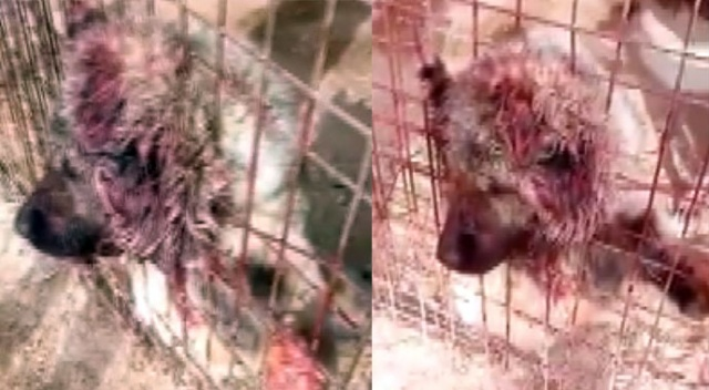 Kangal köpeği kafesten çıkmak isterken telef oldu