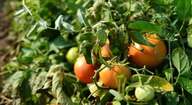 Çanakkale domatesinde lezzet mevsimi