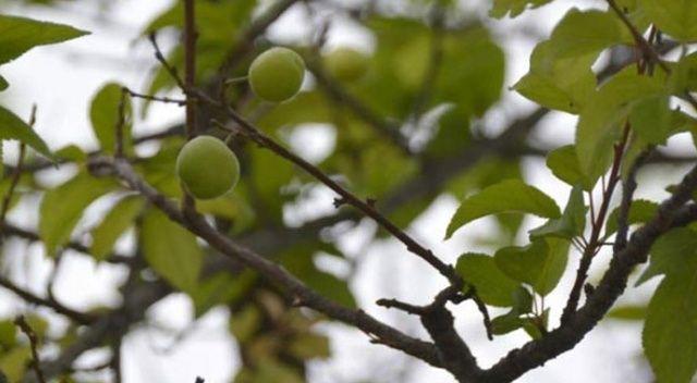 Kış mevsiminde erik ağacı meyve verdi! Görenler şaştı kaldı