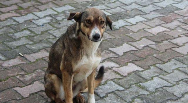 Sokak  köpeklerini kısırlaştırın